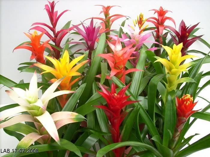 Уход за цветком гузмания, пересадка и размножение в домашних условиях