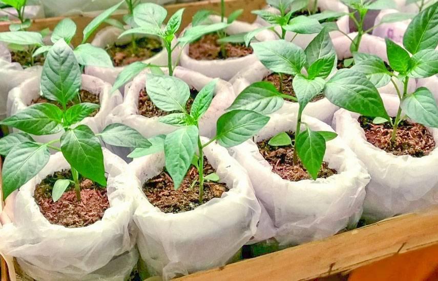 Как вырастить хорошую рассаду сладкого перца в домашних условиях