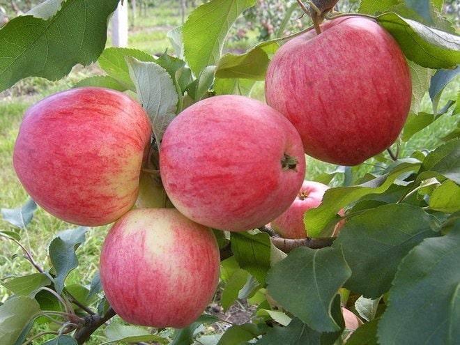 Как сажать колоновидные яблони, в том числе весной, а также схема размещения на участке