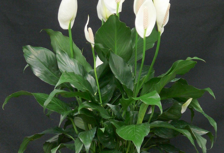 Женское счастье цветок: уход в домашних условиях. когда цветет цветок спатифиллум женское счастье — приметы и суеверия