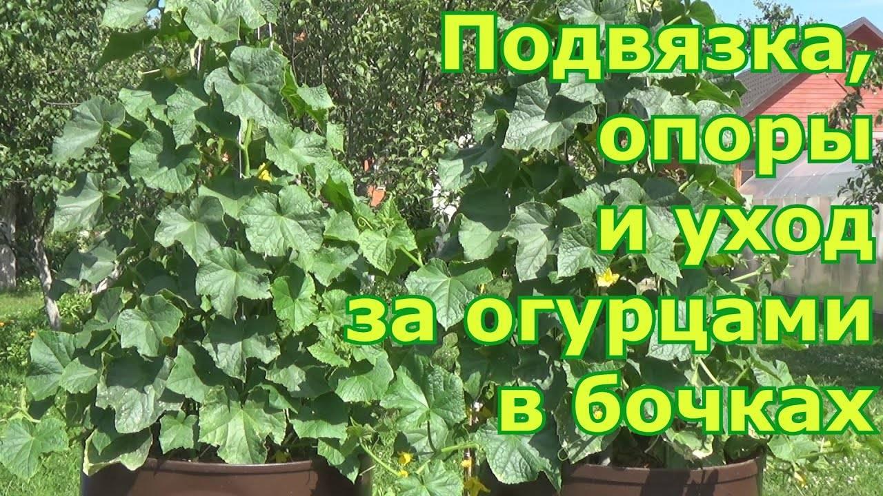 Огурцы в бочке — простая инструкция как посадить и советы как вырастить огурцы (115 фото и видео)