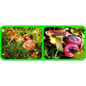 Интересный представитель лесного царства — сыроежка жгучеедкая