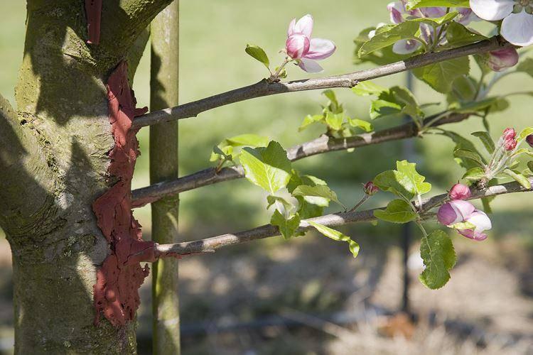 Как привить яблоню весной видео и фото, методы прививки яблонь