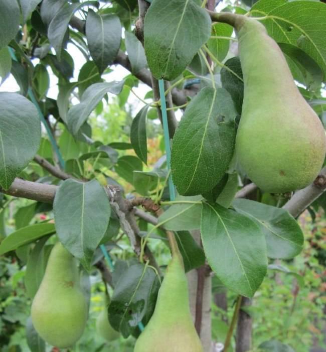Груша «аббат феттель»: характеристика сорта и особенности выращивания