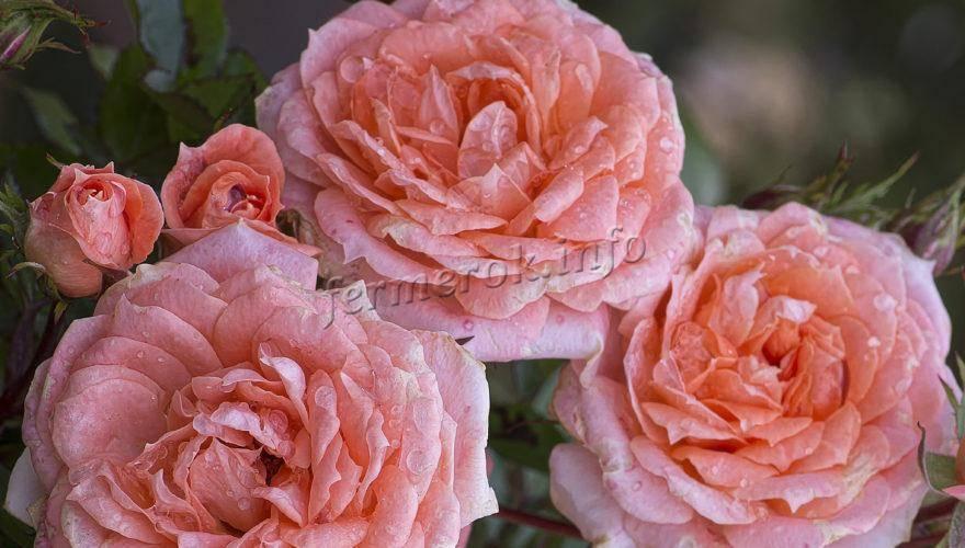 Пионовидные розы: фото, описание. размножение, выращивание