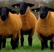 Породы овец: описание и разновидности