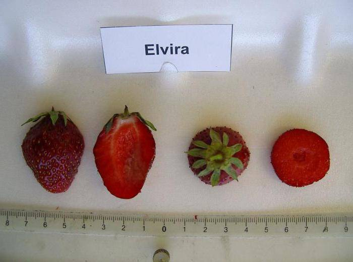Клубника клери: описание сорта, плюсы и минусы, отзывы и фото, выращивание, посадка и уход