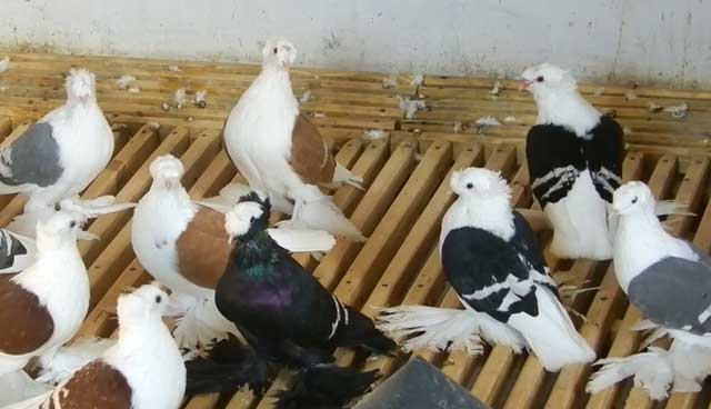 Характеристика голубей монахов