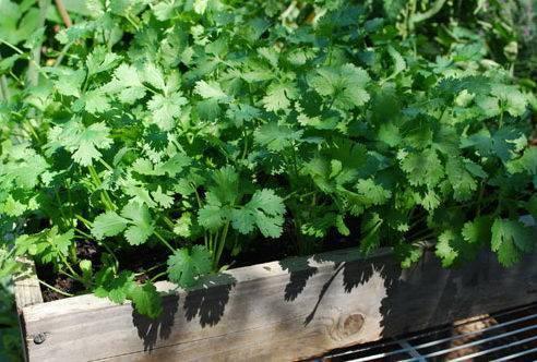 Как вырастить петрушку из семян на подоконнике