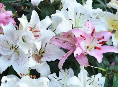 Лилия (55+ фото) - описание 9 сортов, выращивание +отзывы