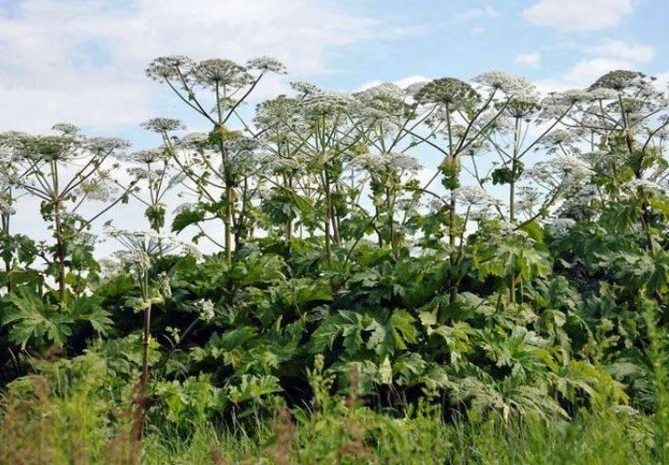 Растение борщевик обыкновенный, так ли опасен он на самом деле?