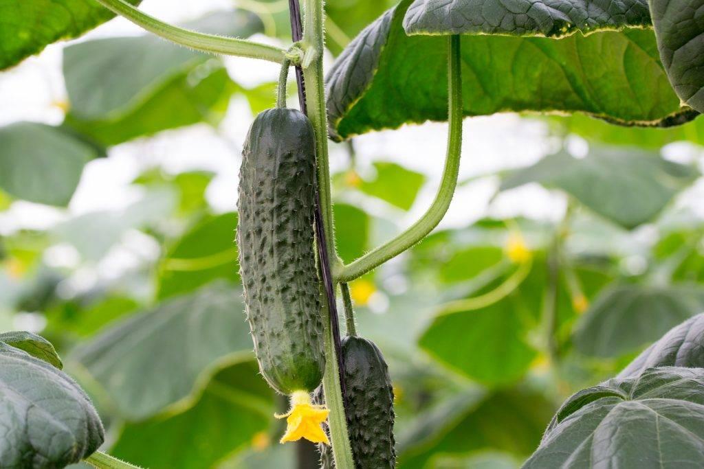 Огурцы адам f1: описание и характеристика сорта с фото, отзывы о семенах и урожае