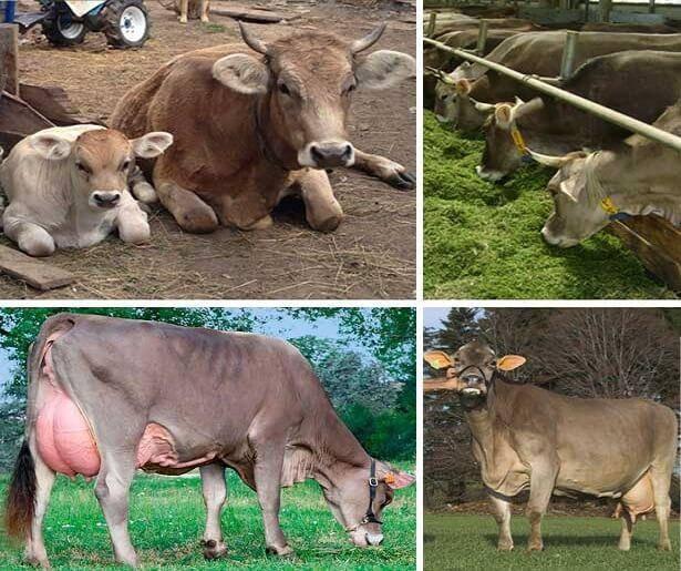 Ферму на 3 тыс. коров французской породы построят в северной осетии в 2023 году