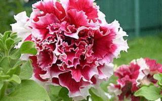 Комнатная петунья — уход и выращивание в домашних условиях