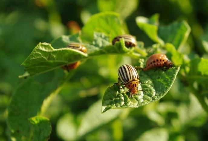 Урожайный картофель уладар. характеристика и отзывы