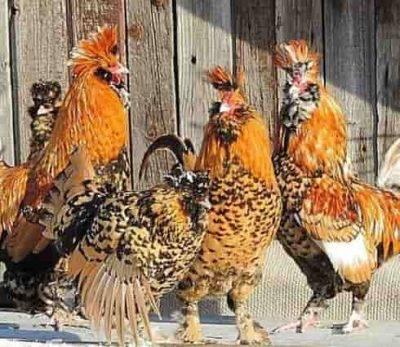 Павловская порода кур – описание, фото, отзывы