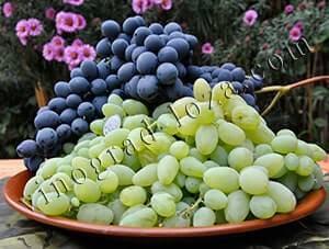 Обработка винограда весной от болезней и вредителей: чем и когда обрабатывать, схемы, рецепты