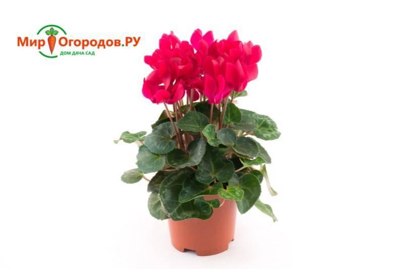 Выращивание цикламена из семян в домашних условиях: инструкции и рекомендации - sadovnikam.ru