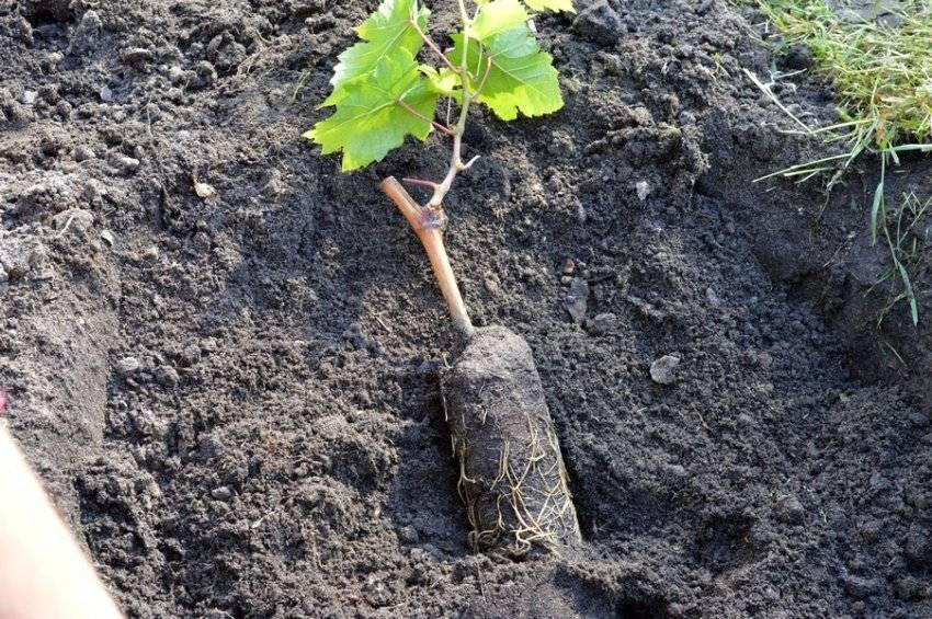 Как посадить виноград весной