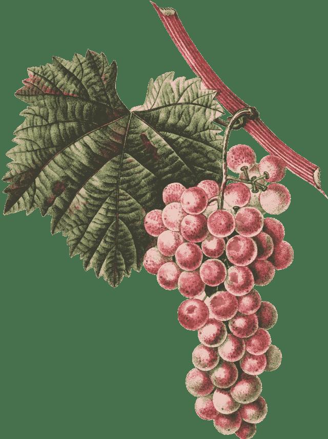 Виноград юпитер характеристика и описание сорта, уход, выращивание и отзывы