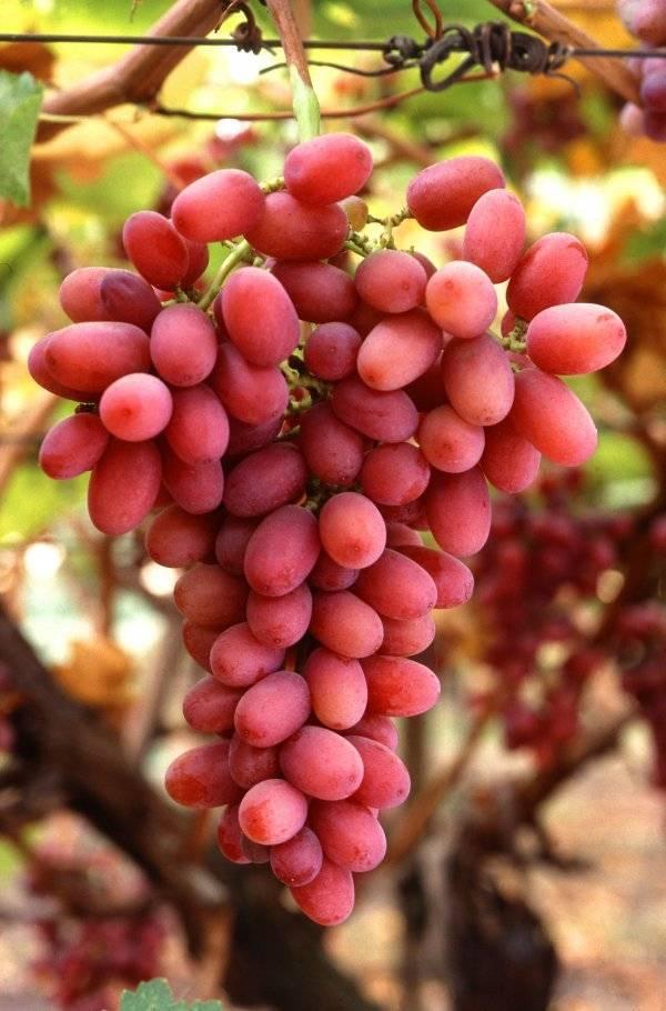 Виноградники: вячеслава король, курдюмова, шпака та інші | #тег