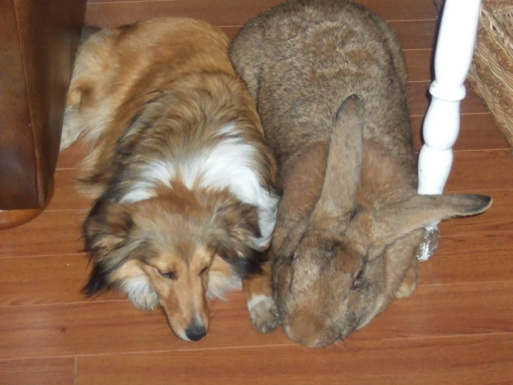 Немецкая порода кроликов ризен: содержание, разведение, уход