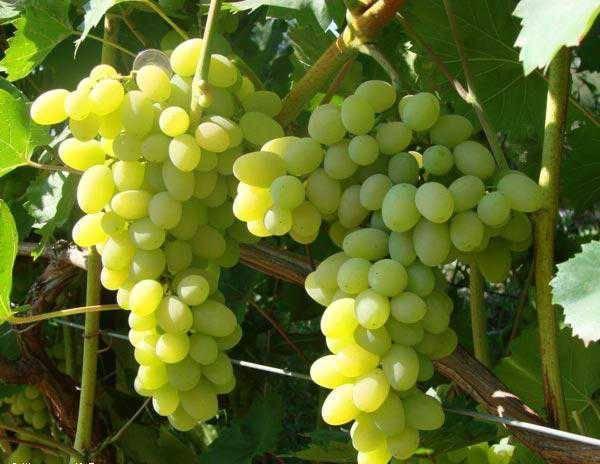 "Виноград ""алекса"" - характеристика гибридной формы"