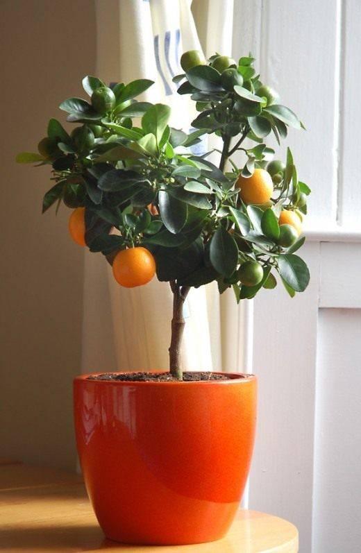 13 комнатных растений, которые легко вырастить из семян в домашних условиях. фото — ботаничка.ru