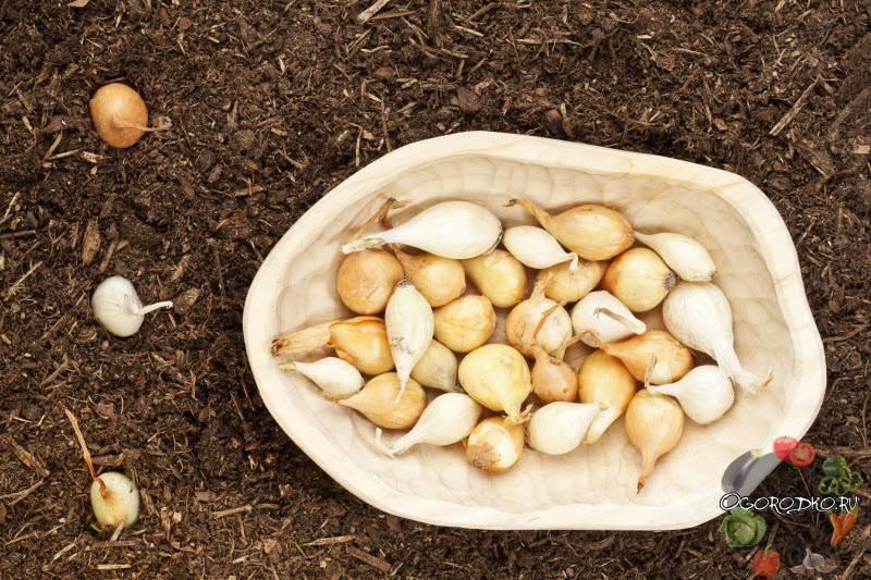 Посадка лука — севка в открытый грунт весной