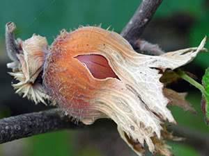 Лещина обыкновенная: выращивание, посадка и уход