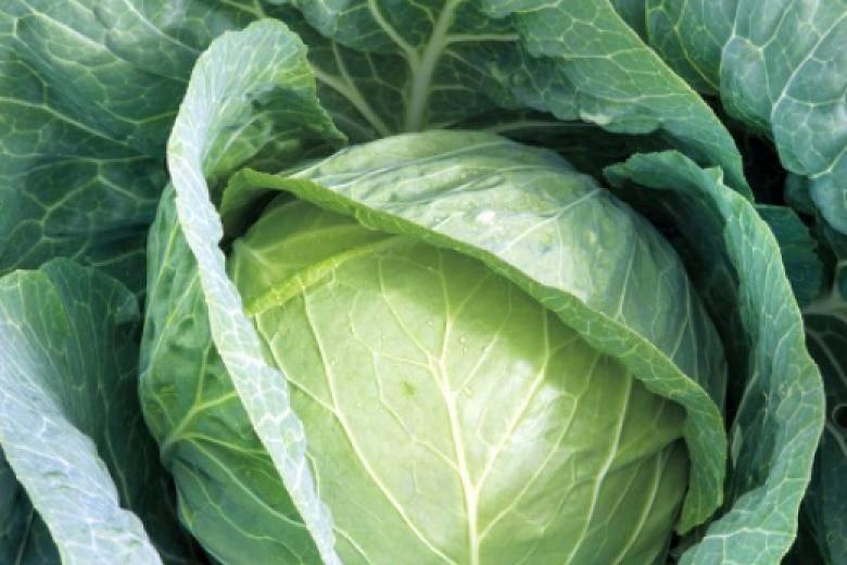 Запастись вкусными и свежими овощами на весь год легко с капустой циклон f1: характеристика и описание
