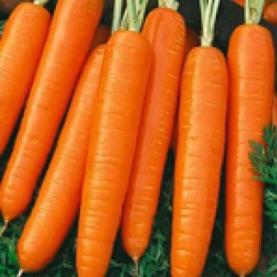 Морковь самсон: отзывы, фото, описание сорта