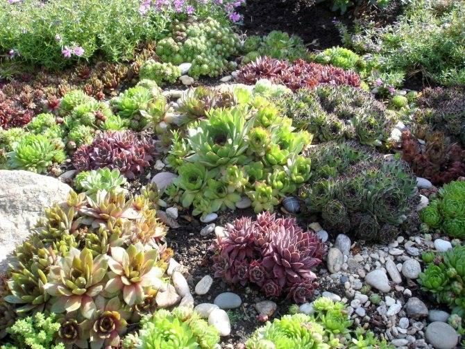 Компактное растение — седум отогнутый: особенности выращивания и ухода за цветком