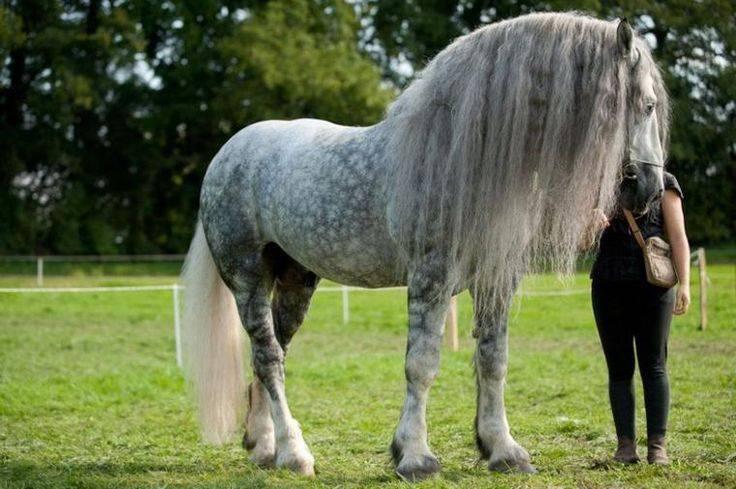 Лошади породы першерон: появление в россии, особенности, предназначение