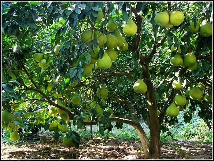 Как растет помело: где и сколько выращивают фрукт
