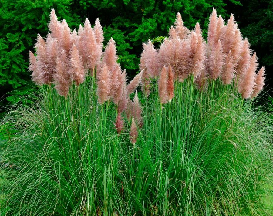 Здесь не пампасы, но тоже ничего! какие условия нужны пампасной траве на вашем участке?