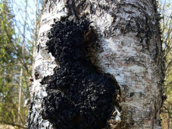 Чага - березовый гриб. полезные свойства и применение. топ 15 - что лечит, как заваривать