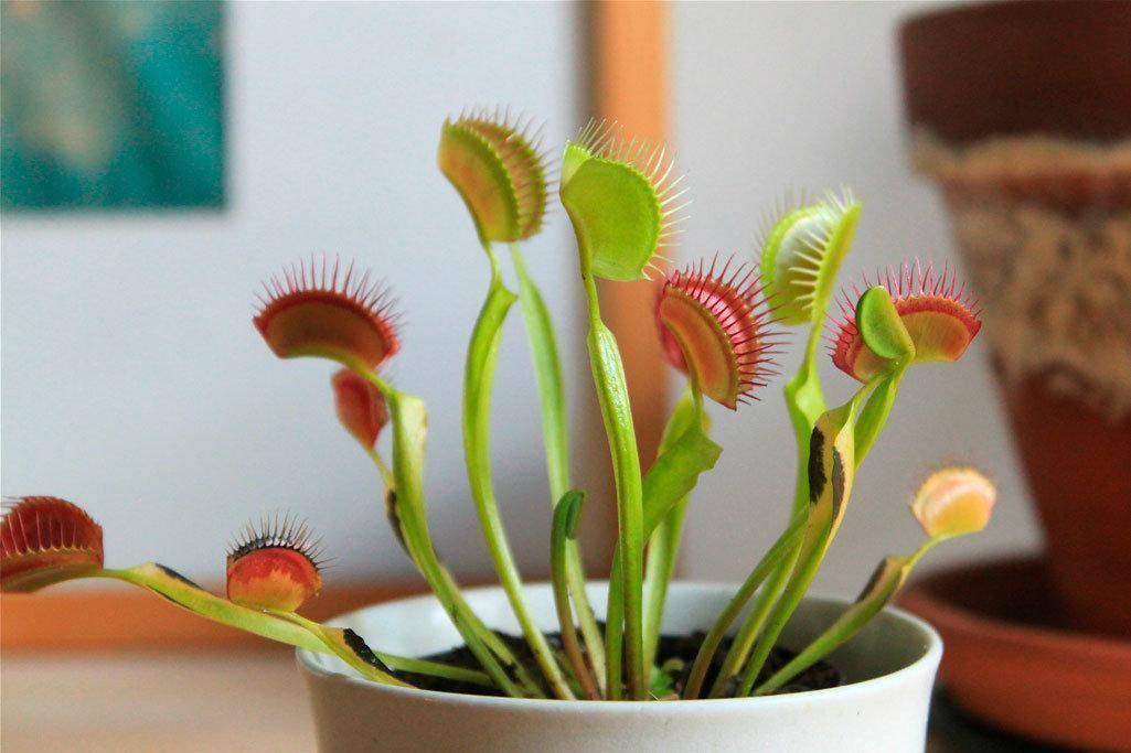 Венерина мухоловка: размножение хищного растения и уход в домашних условиях, описание и фото сортов, как вырастить из семян и чем кормить?