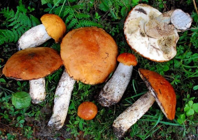 Подосиновик красный – описание гриба, фото видов. как готовить и хранить. польза для организма.