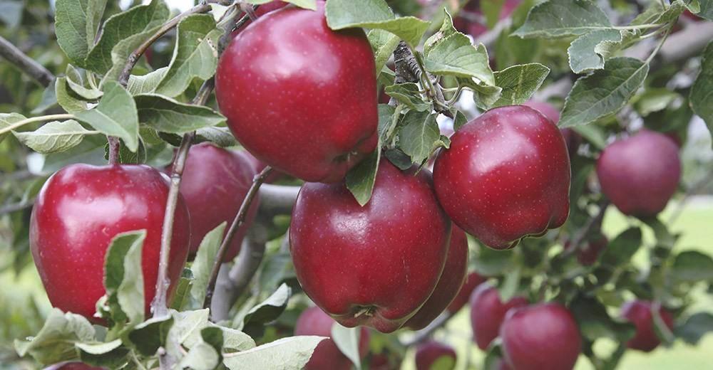 Яблоня ред делишес: описание плодов и достоинства
