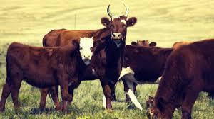 Калмыцкая порода коров: описание, содержание и разведение