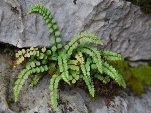 Асплениум: уход в домашних условиях, фото, как размножается растение, виды цветка и их особенности