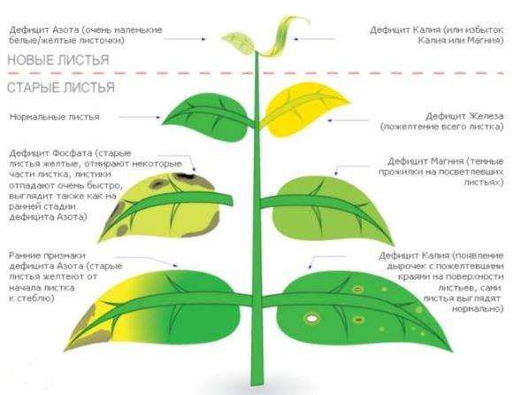 Ржавчина на листьях яблони: как бороться и чем лечить