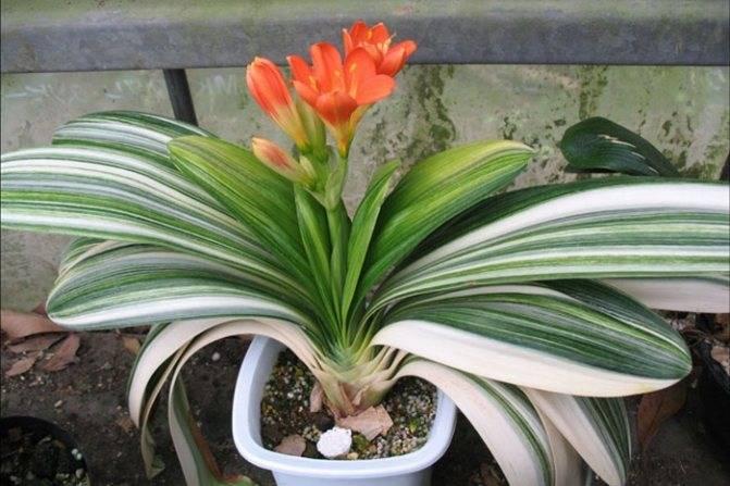 Кливия: выращивание, виды и сорта