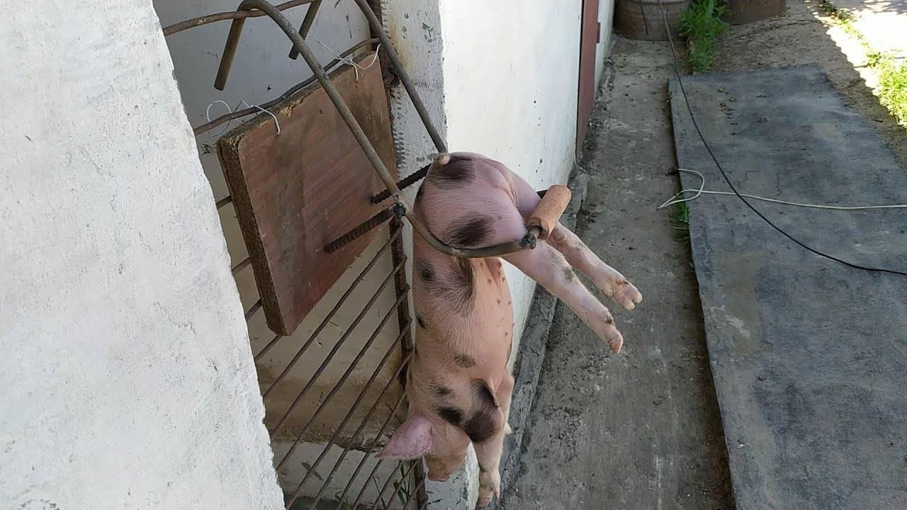 Станки для свиней: как сделать родильное отделение для свиноматки