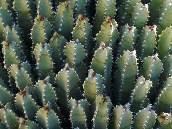 Молочай домашний и садовый: 22 вида, уход (115 фото) +отзывы