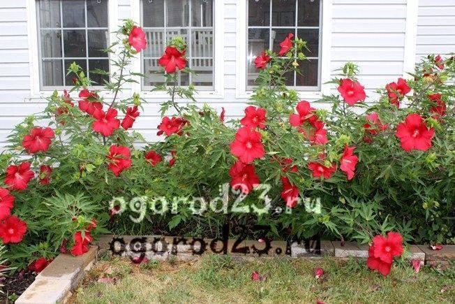 Уход за гибискусом садовым: как и когда поливать древовидный кустарник, подкормка, прищипка и размножение цветка, особенности травянистых гибридов, фото русский фермер