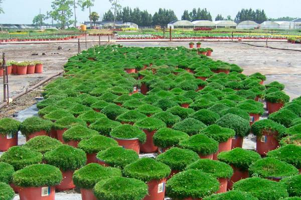 Мшанка шиловидная в саду: посадка, уход, способы размножения