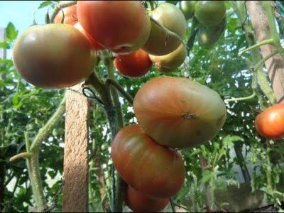 Когда томаты жируют в теплице что делать?