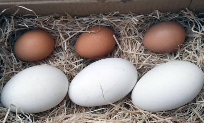 Сколько дней высиживает яйца гусыня: яйценоскость, когда домашние гуси начинают нестись и до какого возраста, видео о яйцекладке